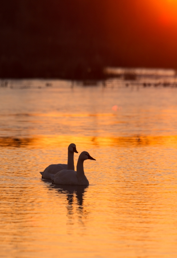 Swans as sun rises above the horizon