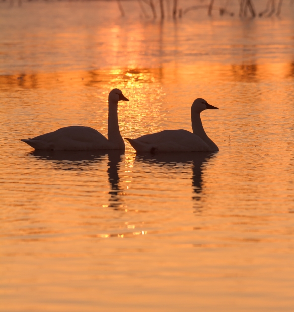 Swans at sunrise in Marsh A vertical