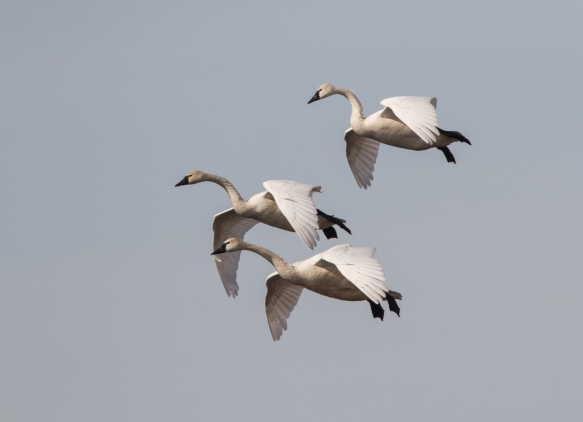 Swans coming in for a landing