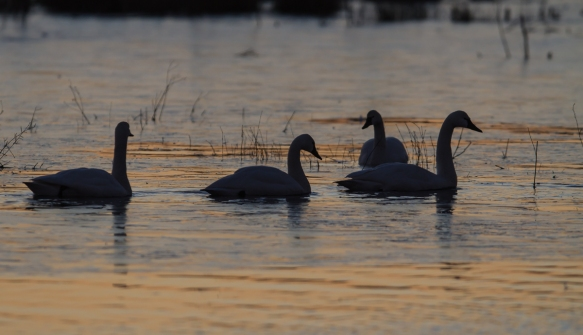 Swans in predawn light