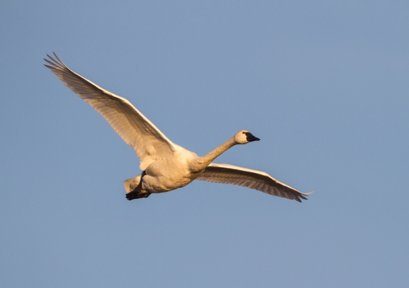 Tundra Swan in early morning light