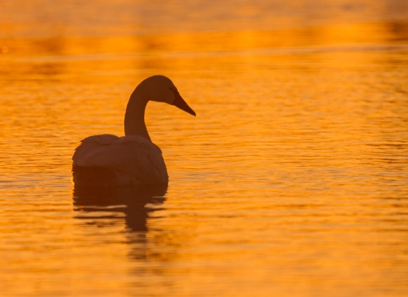 Tundra Swan silhouette at sunrise