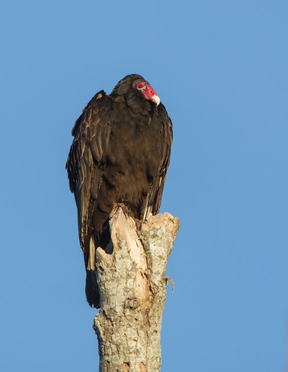 Turkey Vulture on dead tree
