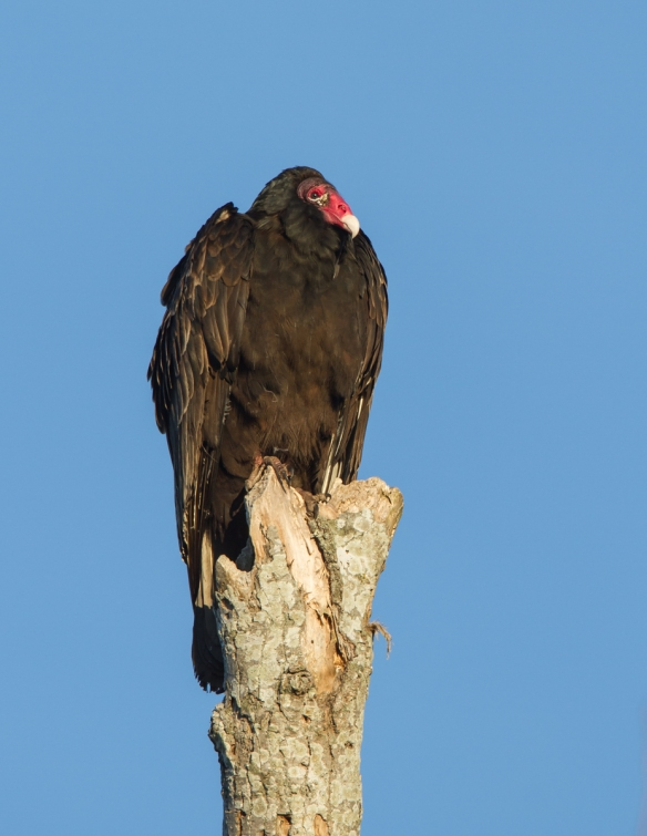 Turkey Vulture on dead tree