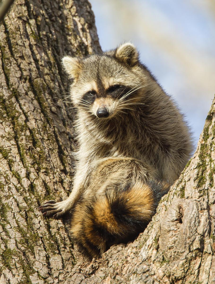 raccoon | Roads End Naturalist