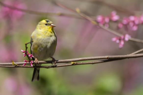 American Goldfinch male early spring color