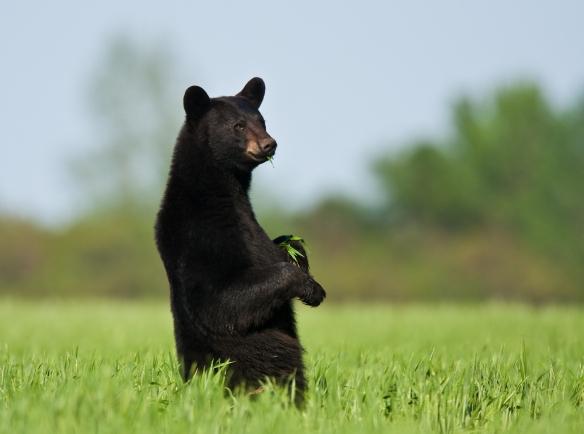Black Bear in wheat at Pocosin Lakes NWR