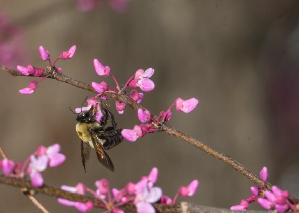 Carpenter Bee on Redbud