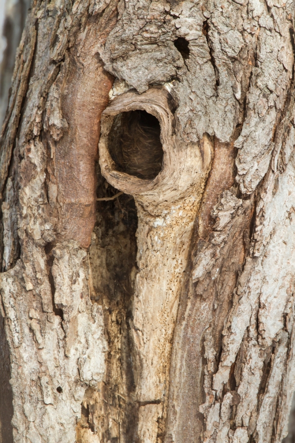 Cavity in maple tree