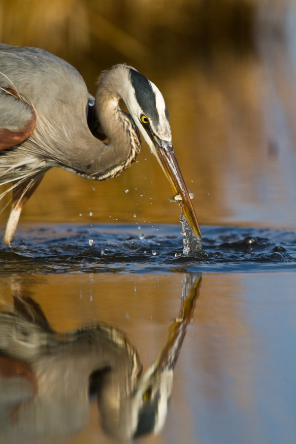 Great Blue Heron strike 2