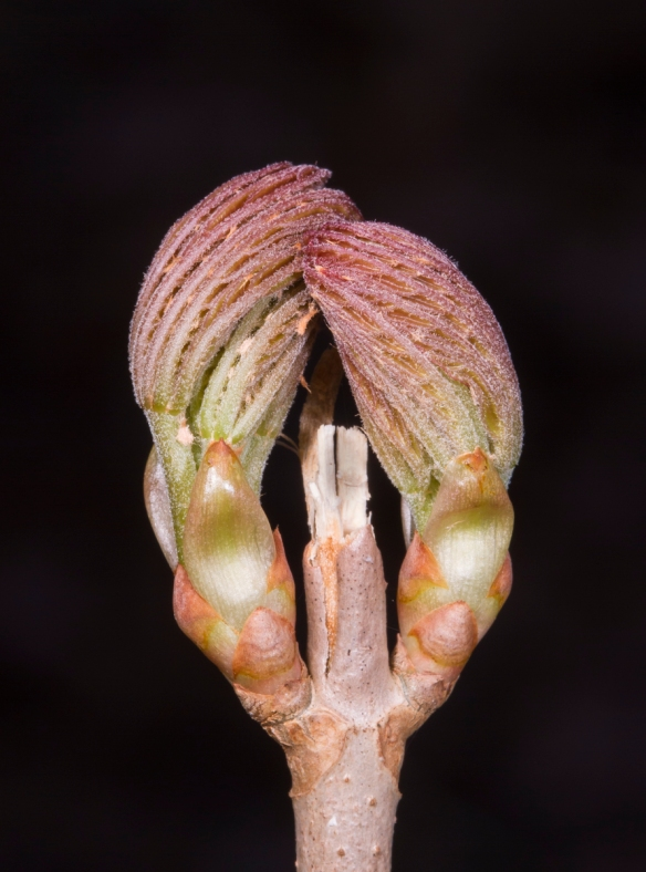 Painted Buckeye buds beginning to open
