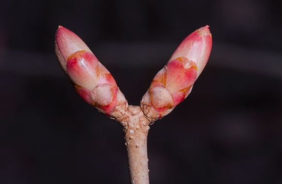 Painted Buckeye buds