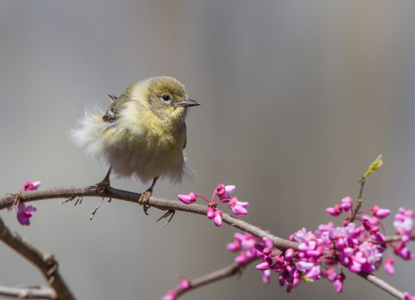 Pine warbler female in Redbud