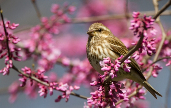 Purple Finch female in redbud