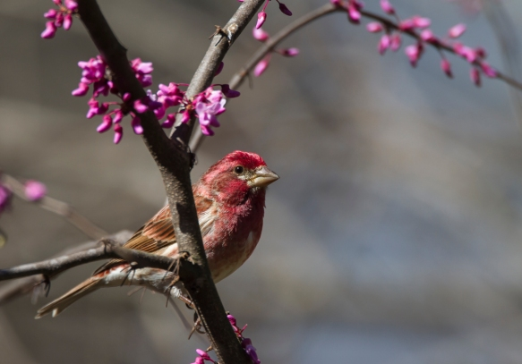 Purple Finch male in redbud