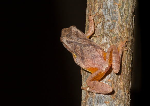 Spring Peeper back view