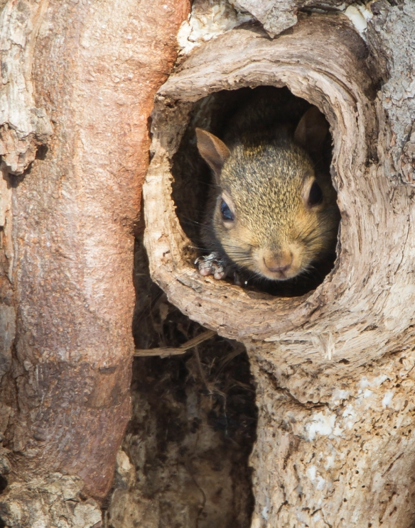 Squirrel inside nest cavity 3