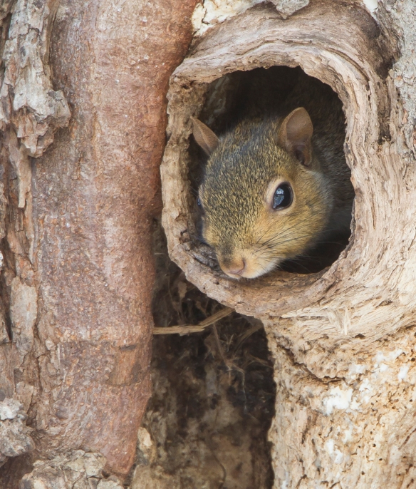 Squirrel inside nest cavity close up