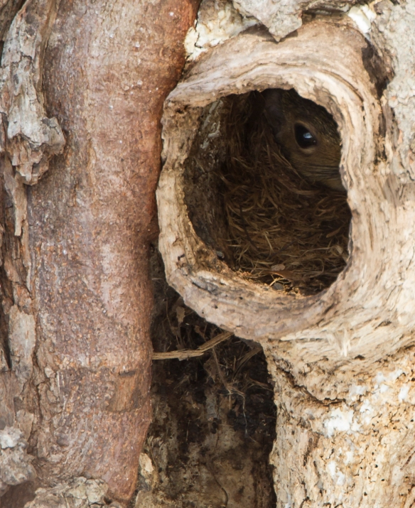 Squirrel inside nest cavity