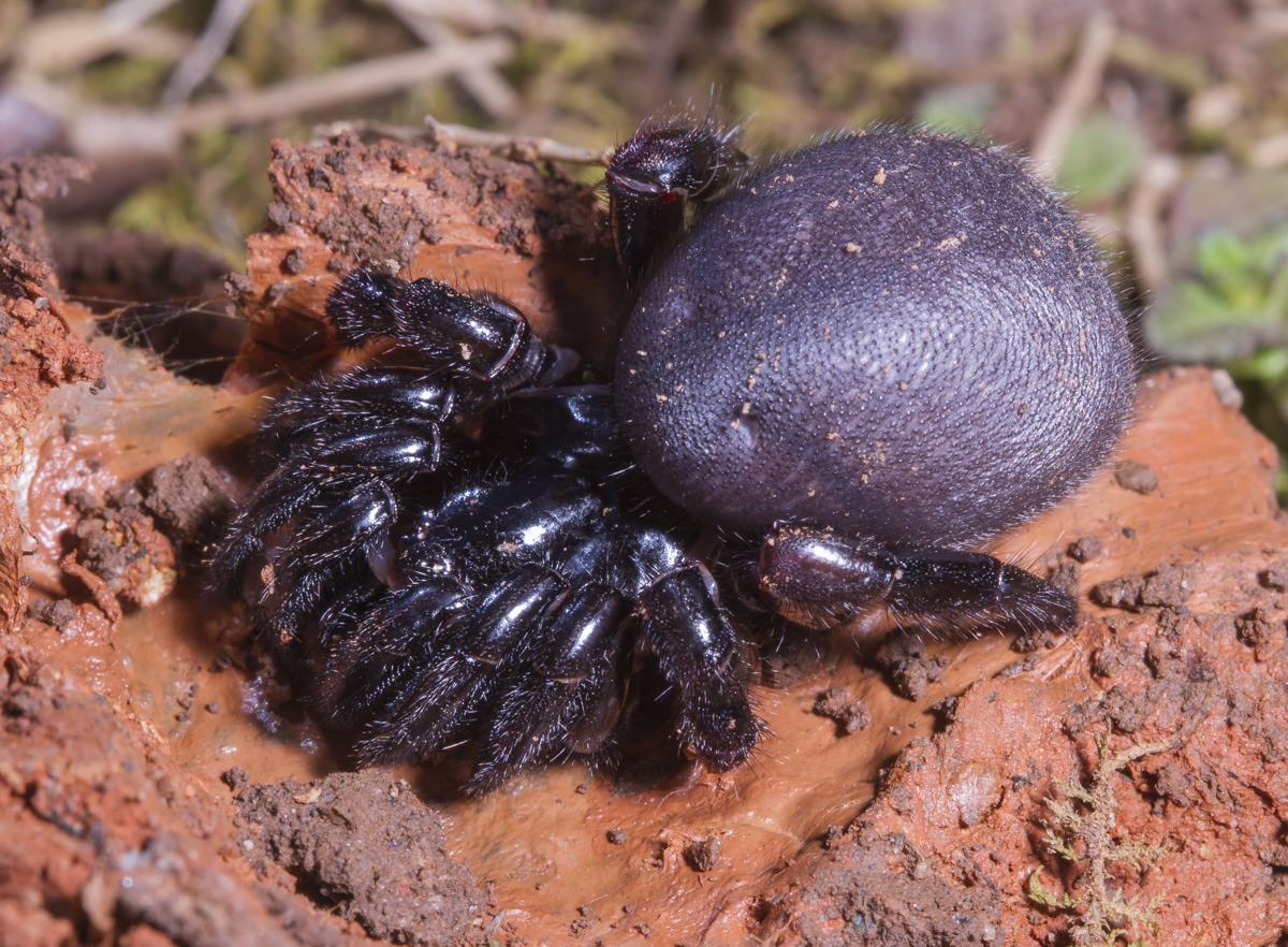 Trapdoor Spider Roads End Naturalist