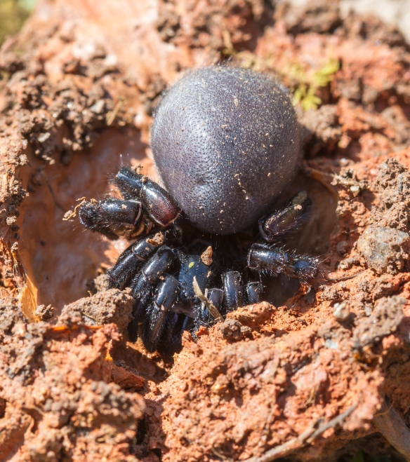 Trapdoor Spider uncovered