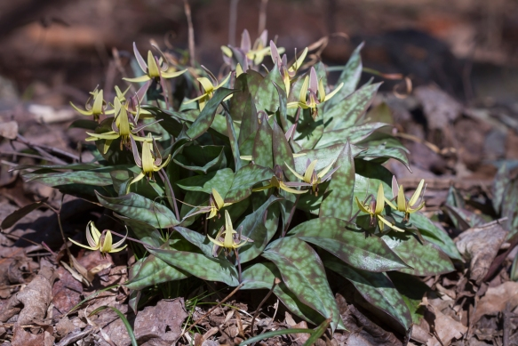 Trout Lily clump