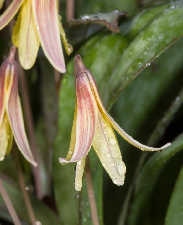 Trout Lily flower in rain
