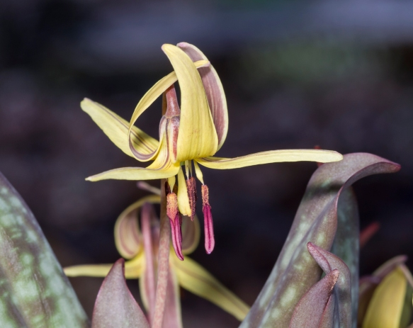 Trout Lily flower open