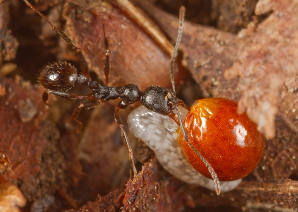 Ant carrying Bloodroot seed