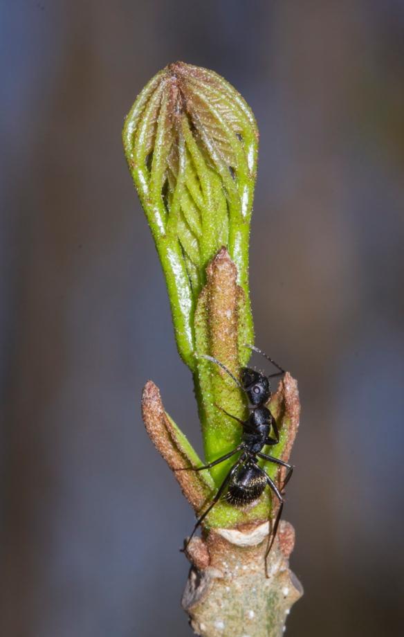 Ash leaf beginning to unfurl