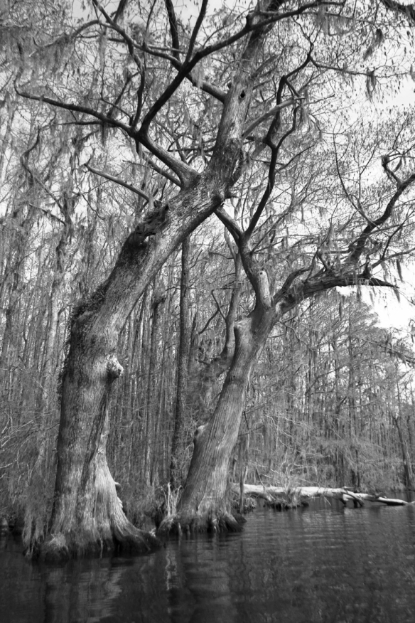 Bald Cypress along Conaby Creek 1