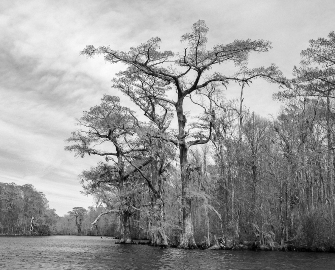 Bald Cypress along Conaby Creek 2