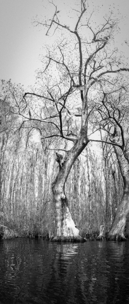 Bald Cypress along Conaby Creek 3