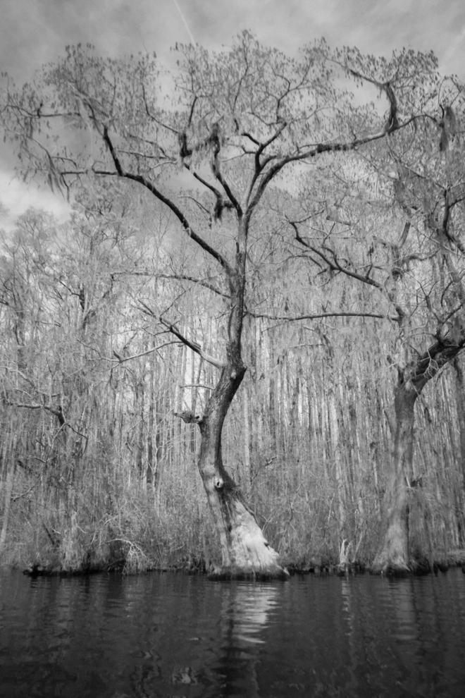 Bald Cypress along Conaby Creek