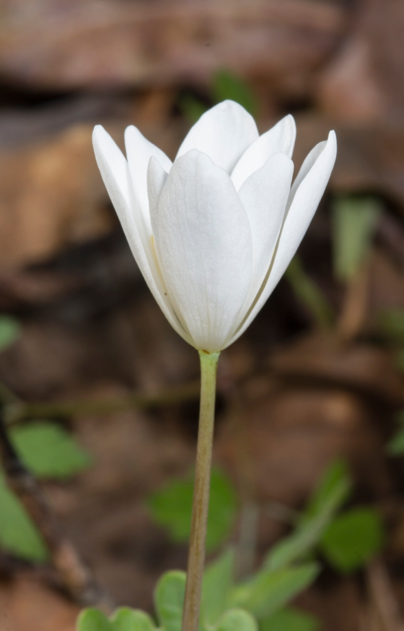 Bloodroot flower about to open