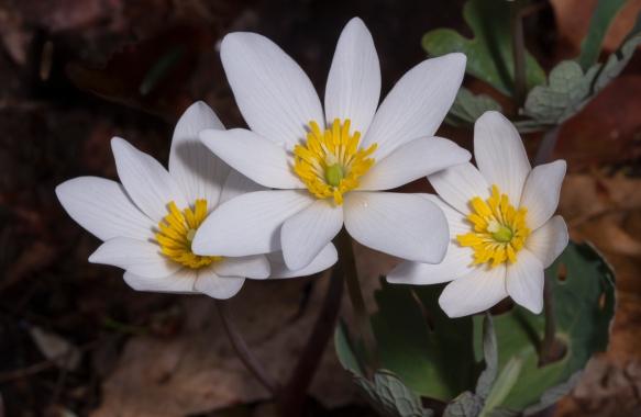 Bloodroot flowers 1