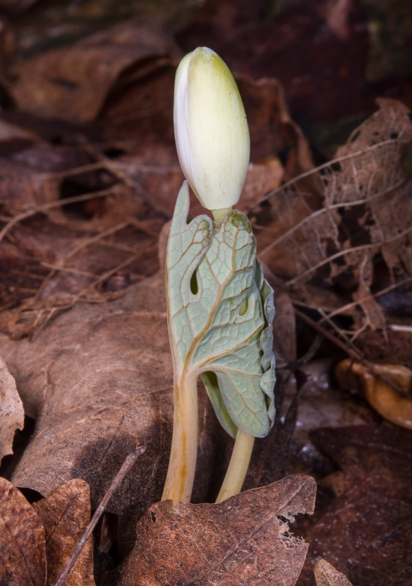 Bloodroot flowers wrapped in its leaf