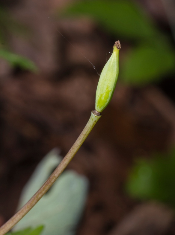 Bloodroot seed pod in early stage of development