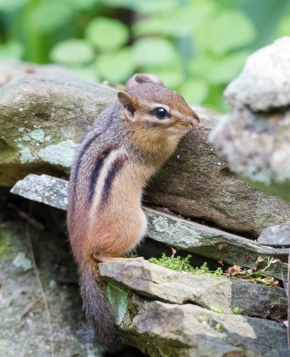 Chipmunk climbing rock wall