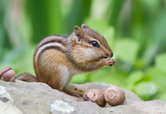 Chipmunk feeding 1