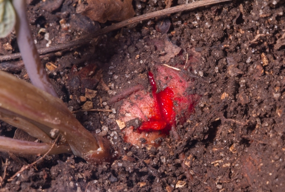 Cut red root of Bloodroot