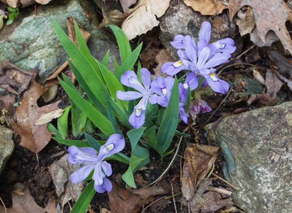 dwarf crested iris blue form