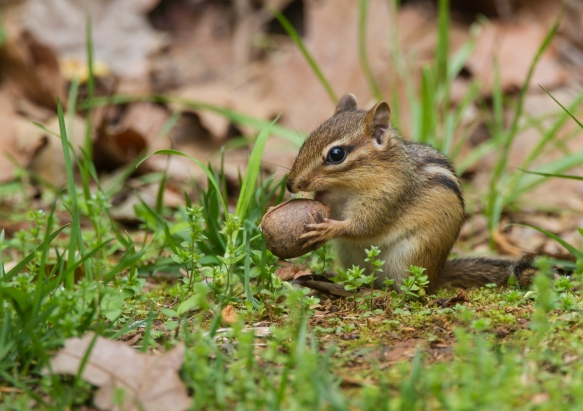 Eastern Chipmunk with acorn