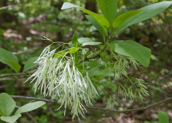 fringe tree