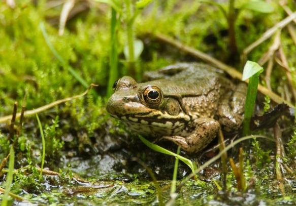 green Frog at pool 1