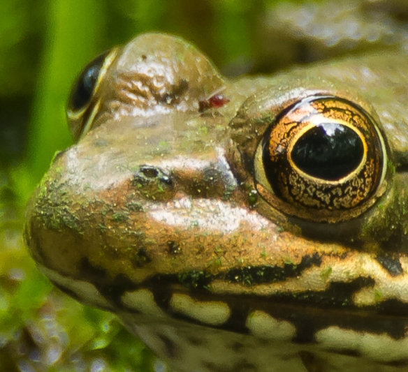 green frog with biting insects 1