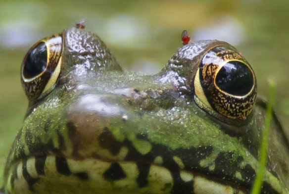 green frog with biting insects