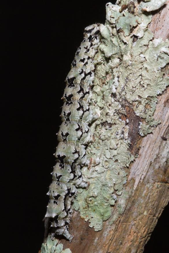 Ilia Underwing larva on lichen 2