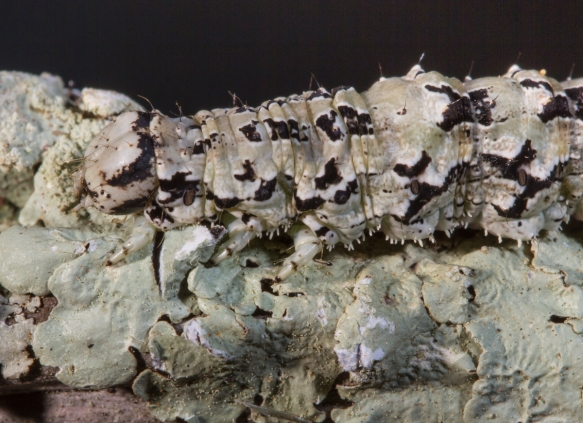 Ilia Underwing larva on lichen close up