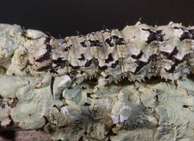 Ilia Underwing larva on lichen close up